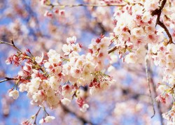 cherry_blossom_pc_mrhayata